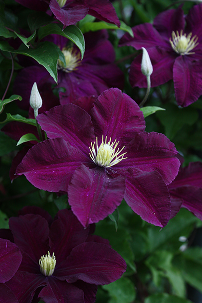 clematis galery from roogoja farm. Black Bedroom Furniture Sets. Home Design Ideas