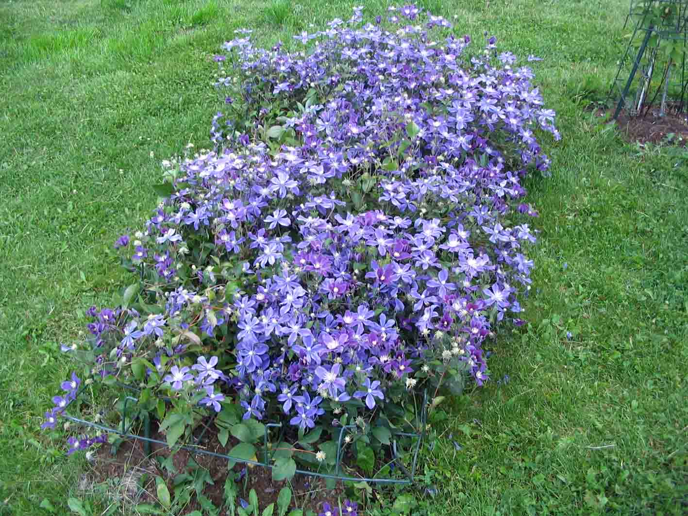 Clematis Galery From Roogoja Farm