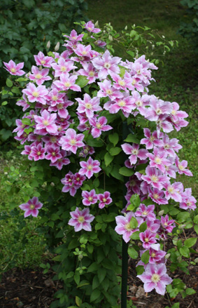 Clematis For Sale By Post
